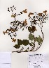 (Hydrangea - PDBK2005-1090)  @11 [ ] Copyright (2005) Ki Joong Kim Korea University Herbarium (KUS)