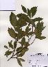 (Neolitsea - PDBK2005-1229)  @11 [ ] Copyright (2005) Ki Joong Kim Korea University Herbarium (KUS)