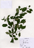 (Rhamnus yoshinoi - PDBK2005-1294)  @11 [ ] Copyright (2005) Ki Joong Kim Korea University Herbarium (KUS)