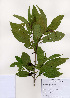 (Prunus armeniaca - PDBK2006-0227)  @11 [ ] Copyright (2006) Ki Joong Kim Korea University Herbarium (KUS)