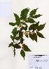 (Lonicera maackii - PDBK2006-0321)  @11 [ ] Copyright (2006) Ki Joong Kim Korea University Herbarium (KUS)