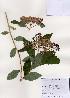 (Spiraea miyabei - PDBK2006-0688)  @11 [ ] Copyright (2006) Ki Joong Kim Korea University Herbarium (KUS)