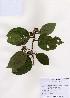 (Diospyros kaki - PDBK2006-0755)  @11 [ ] Copyright (2006) Ki Joong Kim Korea University Herbarium (KUS)