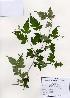 (Stephanandra - PDBK2006-0787)  @11 [ ] Copyright (2006) Ki Joong Kim Korea University Herbarium (KUS)