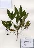 (Ardisia - PDBK2006-0801)  @11 [ ] Copyright (2006) Ki Joong Kim Korea University Herbarium (KUS)