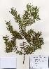 (Torreya - PDBK2006-0841)  @11 [ ] Copyright (2006) Ki Joong Kim Korea University Herbarium (KUS)