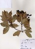 (Machilus - PDBK2006-1147)  @11 [ ] Copyright (2006) Ki Joong Kim Korea University Herbarium (KUS)
