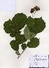 (Corylus heterophylla - PDBK2006-1282)  @11 [ ] Copyright (2006) Ki Joong Kim Korea University Herbarium (KUS)