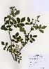 ( - PDBK2006-1320)  @11 [ ] Copyright (2006) Ki Joong Kim Korea University Herbarium (KUS)