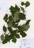 (Corylus sieboldiana - PDBK2006-1403)  @11 [ ] Copyright (2006) Ki Joong Kim Korea University Herbarium (KUS)