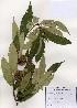 (Castanea crenata - PDBK2006-1628)  @11 [ ] Copyright (2006) Ki Joong Kim Korea University Herbarium (KUS)