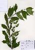 (Callicarpa - PDBK2006-1634)  @11 [ ] Copyright (2006) Ki Joong Kim Korea University Herbarium (KUS)