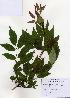 (Acer mandshuricum - PDBK2006-2224)  @13 [ ] Copyright (2006) Ki Joong Kim Korea University Herbarium (KUS)