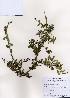 (Ligustrum ibota - PDBK2006-2420)  @11 [ ] Copyright (2006) Ki Joong Kim Korea University Herbarium (KUS)