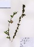 (Abeliophyllum - PDBK2007-0019)  @11 [ ] Copyright (2007) Ki Joong Kim Korea University Herbarium (KUS)