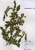 (Hemiptelea - PDBK2007-0254)  @11 [ ] Copyright (2007) Ki Joong Kim Korea University Herbarium (KUS)
