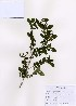(Ligustrum obtusifolium - PDBK2007-0449)  @11 [ ] Copyright (2007) Ki Joong Kim Korea University Herbarium (KUS)