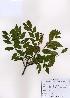 (Maackia - PDBK2007-0502)  @11 [ ] Copyright (2007) Ki Joong Kim Korea University Herbarium (KUS)