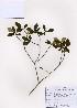 (Rhododendron micranthum - PDBK2007-0580)  @11 [ ] Copyright (2007) Ki Joong Kim Korea University Herbarium (KUS)