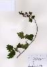 ( - PDBK2007-0591)  @11 [ ] Copyright (2007) Ki Joong Kim Korea University Herbarium (KUS)