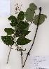 ( - PDBK2007-0622)  @11 [ ] Copyright (2007) Ki Joong Kim Korea University Herbarium (KUS)