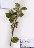 (Elaeagnus submacrophylla - PDBK2008-0002)  @11 [ ] Copyright (2008) Ki Joong Kim Korea University Herbarium (KUS)