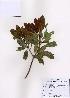 (Rhaphiolepis - PDBK2008-0072)  @11 [ ] Copyright (2008) Ki Joong Kim Korea University Herbarium (KUS)