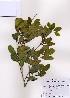 (Distylium - PDBK2008-0077)  @13 [ ] Copyright (2008) Ki Joong Kim Korea University Herbarium (KUS)