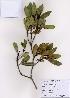 (Rhaphiolepis - PDBK2008-0087)  @11 [ ] Copyright (2008) Ki Joong Kim Korea University Herbarium (KUS)
