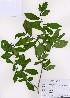 (Orixa - PDBK2008-0217)  @11 [ ] Copyright (2008) Ki Joong Kim Korea University Herbarium (KUS)