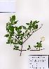 (Staphylea - PDBK2008-0366)  @11 [ ] Copyright (2008) Ki Joong Kim Korea University Herbarium (KUS)