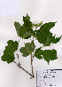 (Viburnum sargentii - PDBK2008-0374)  @11 [ ] Copyright (2008) Ki Joong Kim Korea University Herbarium (KUS)