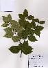(Betula schmidtii - PDBK2008-0400)  @11 [ ] Copyright (2008) Ki Joong Kim Korea University Herbarium (KUS)
