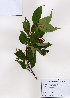 (Cornus macrophylla - PDBK2008-0426)  @11 [ ] Copyright (2008) Ki Joong Kim Korea University Herbarium (KUS)