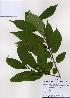 (Rhamnella - PDBK2008-0439)  @11 [ ] Copyright (2008) Ki Joong Kim Korea University Herbarium (KUS)