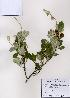 ( - PDBK2008-0449)  @11 [ ] Copyright (2008) Ki Joong Kim Korea University Herbarium (KUS)