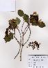 (Hydrangea - PDBK2008-0533)  @11 [ ] Copyright (2008) Ki Joong Kim Korea University Herbarium (KUS)