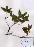 (Chloranthales - PDBK2008-0567)  @11 [ ] Copyright (2008) Ki Joong Kim Korea University Herbarium (KUS)