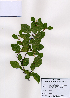 (Paliurus - PDBK2008-0571)  @11 [ ] Copyright (2008) Ki Joong Kim Korea University Herbarium (KUS)
