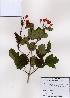 (Viburnum sargentii - PDBK2008-0732)  @11 [ ] Copyright (2008) Ki Joong Kim Korea University Herbarium (KUS)