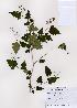 (Stephanandra - PDBK2008-0927)  @11 [ ] Copyright (2008) Ki Joong Kim Korea University Herbarium (KUS)