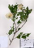 ( - PDBK2008-1089)  @11 [ ] Copyright (2008) Ki Joong Kim Korea University Herbarium (KUS)
