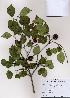 (Cornus kousa - PDBK2008-1181)  @11 [ ] Copyright (2008) Ki Joong Kim Korea University Herbarium (KUS)