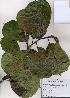 (Magnolia denudata - PDBK2008-1190)  @11 [ ] Copyright (2008) Ki Joong Kim Korea University Herbarium (KUS)