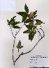 (Rhododendron mucronulatum - PDBK2008-1307)  @11 [ ] Copyright (2008) Ki Joong Kim Korea University Herbarium (KUS)