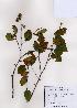 (Betula chinensis - PDBK2008-1369)  @11 [ ] Copyright (2008) Ki Joong Kim Korea University Herbarium (KUS)