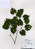 (Tilia amurensis - PDBK2008-1407)  @11 [ ] Copyright (2008) Ki Joong Kim Korea University Herbarium (KUS)
