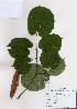 (Tilia mandshurica - PDBK2008-1408)  @11 [ ] Copyright (2008) Ki Joong Kim Korea University Herbarium (KUS)