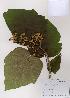 (Firmiana - PDBK2008-1423)  @11 [ ] Copyright (2008) Ki Joong Kim Korea University Herbarium (KUS)
