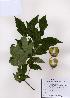 (Acer triflorum - PDBK2008-1444)  @13 [ ] Copyright (2008) Ki Joong Kim Korea University Herbarium (KUS)